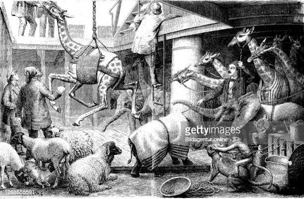 Digital improved reproduction, Unloading of a broadcasting of African animals from the ship Urano in Trieste, for the zoo, Ausladen einer Sendung...