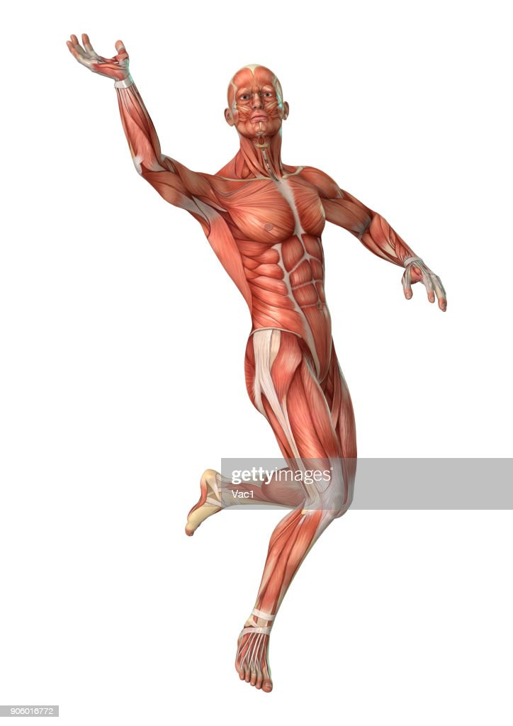 3d Digital Male Anatomy Figure On White Stock Photo Getty Images
