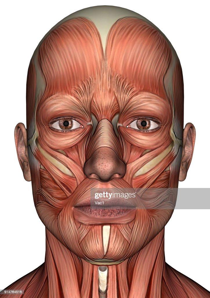3d Digital Render Male Anatomy Figure On White Stock Photo Getty