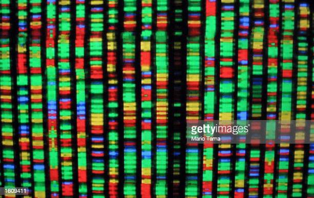 A digital representation of the human genome August 15 2001 at the American Museum of Natural History in New York City Each color represents one the...