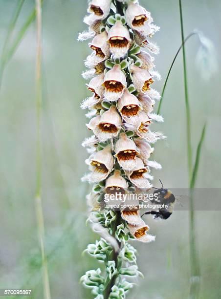 digitalis lanata - tubular bells stock pictures, royalty-free photos & images