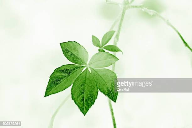 digitally manipulated image of two virginia leaves on vine - zen rial stock photos and pictures