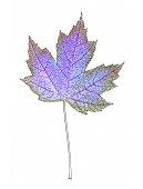 single autumnal maple leaf colour manipulated