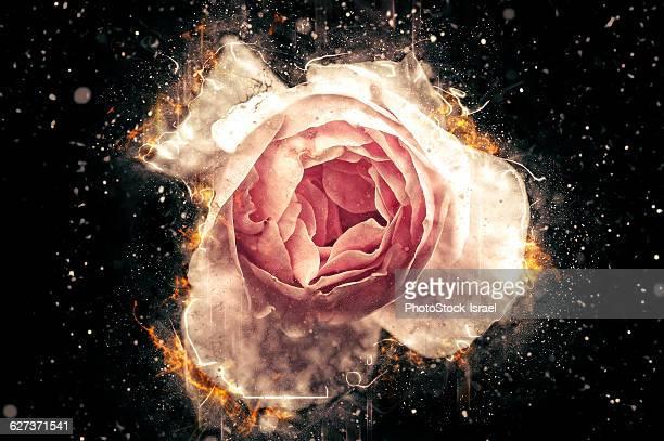 Digitally manipulated Pink English rose