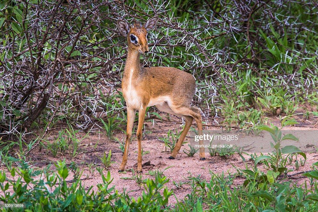 dik-dik, una pequeña antelope en África. : Foto de stock