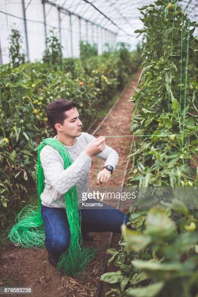 Diligent Farmer Roping Tomatoes In Greenhouse