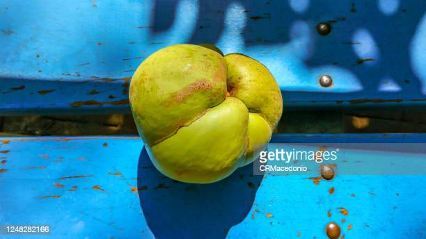 dillenia indica, commonly known as elephant apple - crmacedonio stock pictures, royalty-free photos & images