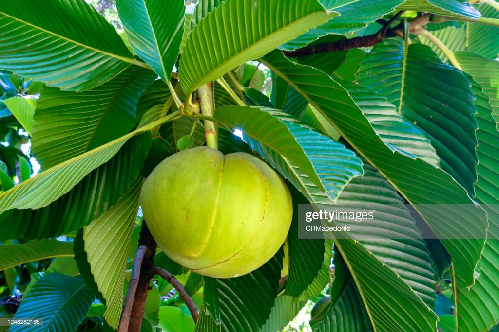 Dillenia indica, commonly known as elephant apple : Foto de stock