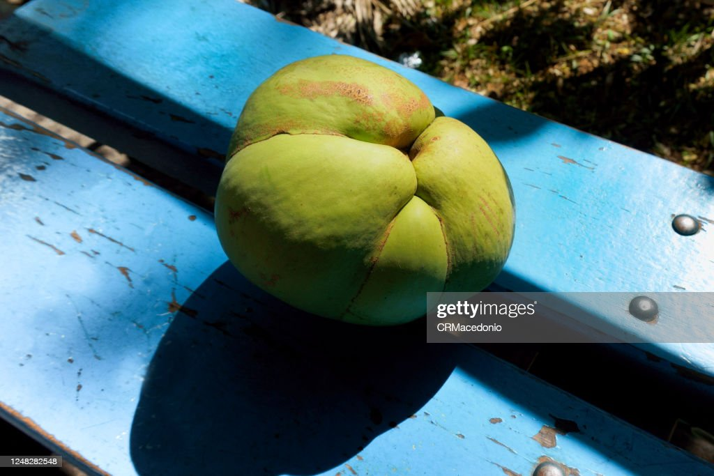 Dillenia indica, commonly known as elephant apple : Stock Photo