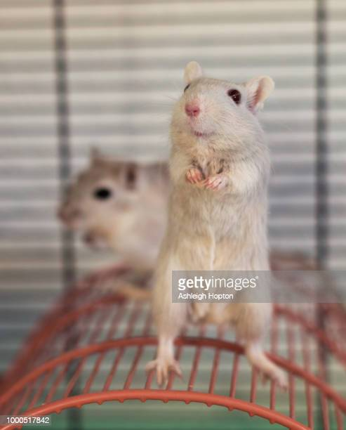 dime standing up - gerbil stock pictures, royalty-free photos & images