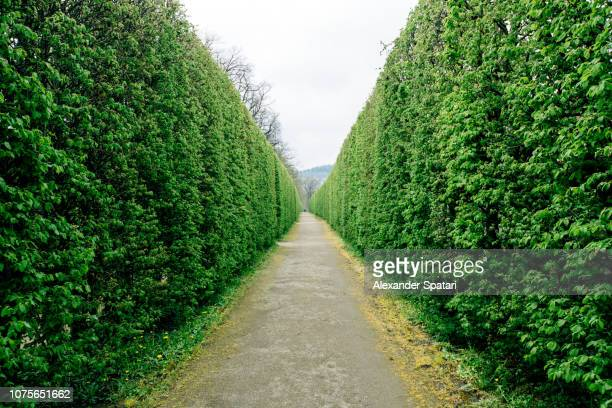 diminishing perspective at the green maze tunnel - hedge stock pictures, royalty-free photos & images