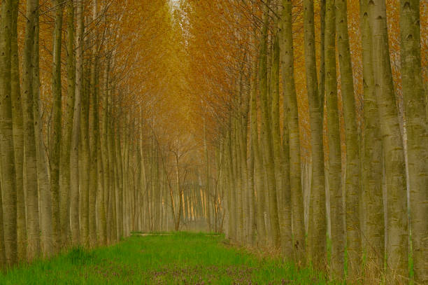 Diminishing perspective of forest alley