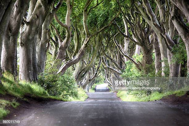 diminishing perspective of the dark hedges - beech tree lined road, ballymoney, county antrim, ireland, uk - beech tree stock pictures, royalty-free photos & images