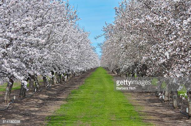 Diminishing rows of trees in a California almond orchard in bloom with mat of green orchard grass under a blue sky.
