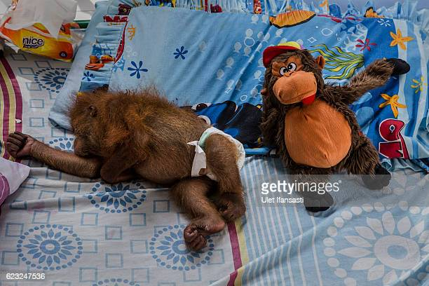 Dina a sumatran orangutan who was rescued from illegal trade suffering from malaria cerebral is seen sleeping in clinic facility at Sumatran...