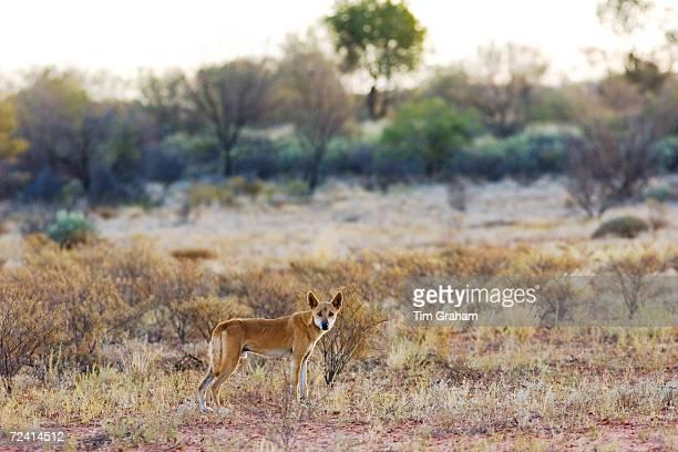 Dingo at Simpson's Gap West Madonnell Mountain Range Australia