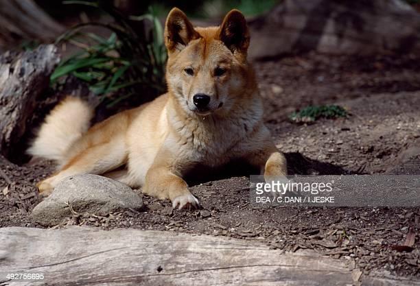 Dingo Canidae Australia