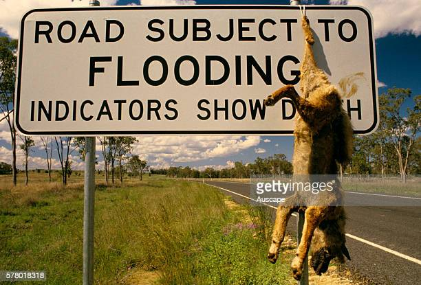 Dingo Canis dingo hanging dead from a road sign in outback Queensland where flood and drought combine with wildlife pests to make life difficult for...