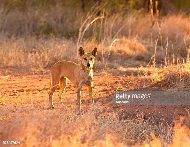 Dingo Canis dingo standing still looking at photographer Mornington Wildlife Sanctuary central Kimberley Western Australia Australia
