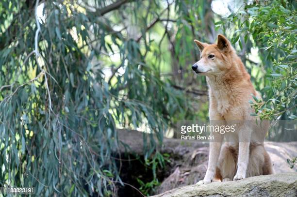 dingo dog sitting on a rock - rafael ben ari stock pictures, royalty-free photos & images