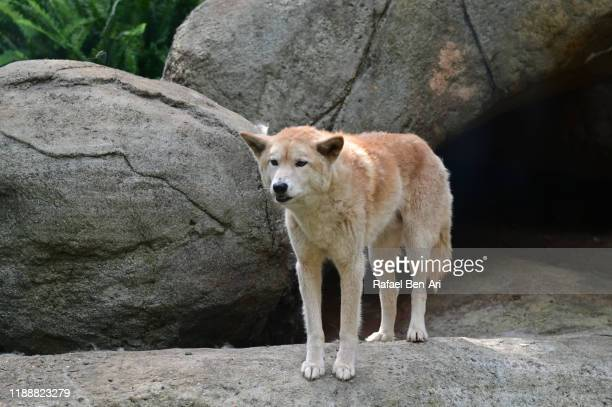 dingo dog standing on a rock - rafael ben ari stock pictures, royalty-free photos & images