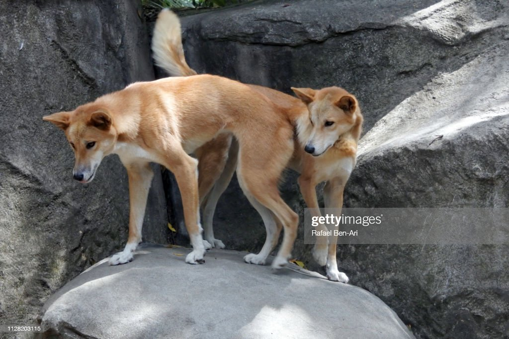 Dingo dogs on a rock in Australia outback : Stock Photo