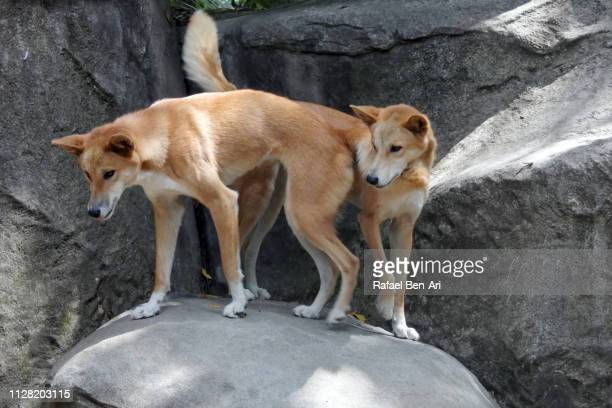 dingo dogs on a rock in australia outback - rafael ben ari stock pictures, royalty-free photos & images