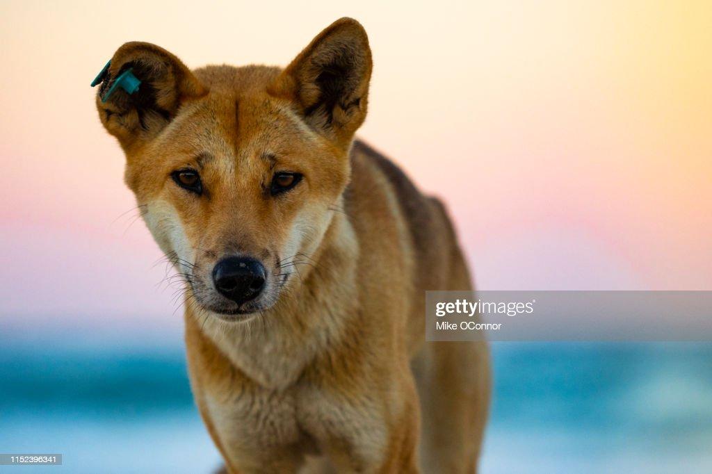 Dingo, Fraser Island : Stock Photo