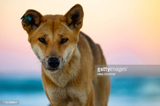 dingo, fraser island - wild dog stock pictures, royalty-free photos & images