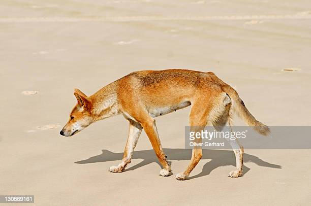 dingo (canis lupus dingo) on the beach of fraser island, queensland, australia - carnivora stock photos and pictures