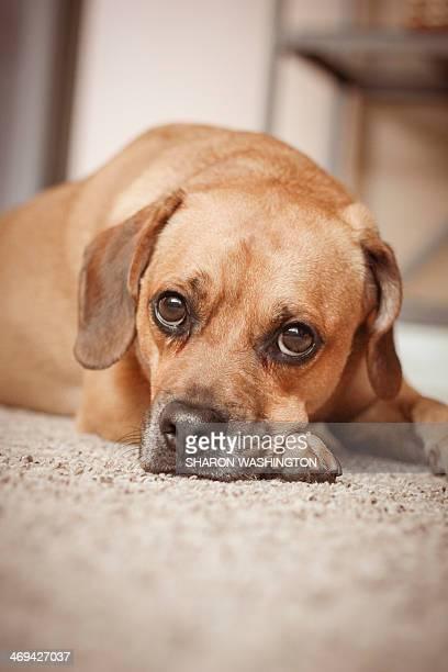dingo - puggle stockfoto's en -beelden