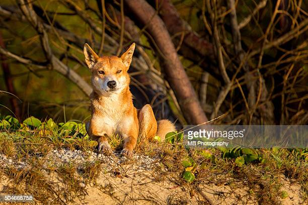 dingo - wild dog stock pictures, royalty-free photos & images