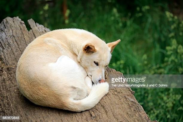 Dingo, (Canis familiaris dingo)