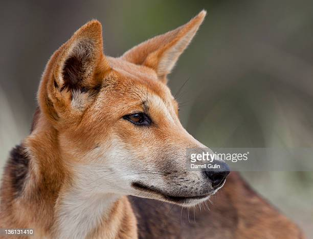 dingo portrait fraser island - queensland stock-fotos und bilder