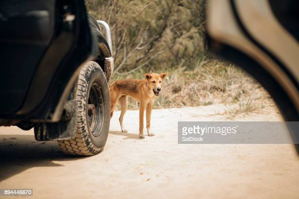 Dingo Prowling the Beaches of Fraser Island