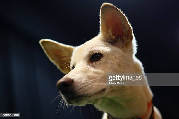 A dingo puppy is seen in the PatAPooch zone of the Dog Lovers Show during the at Royal Hall of Industries Moore Park on November 7 2014 in Sydney...