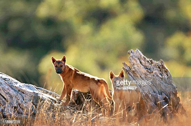 Dingo pups approximately 3 to 4 months old play on a fallen tree in the Sth Blue Mountains World Heritage Area west of Sydney The dingos are being...