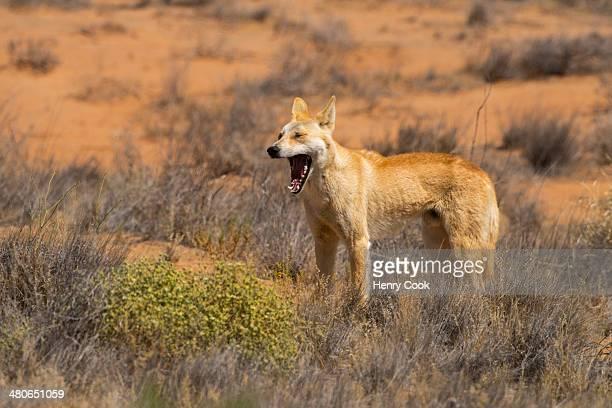 Dingo, Strezlecki track