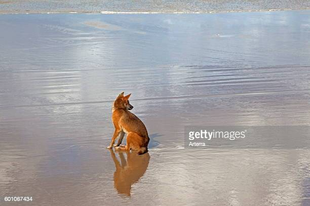 Dingo tagged with earmark sitting on the beach on Fraser Island Queensland Australia