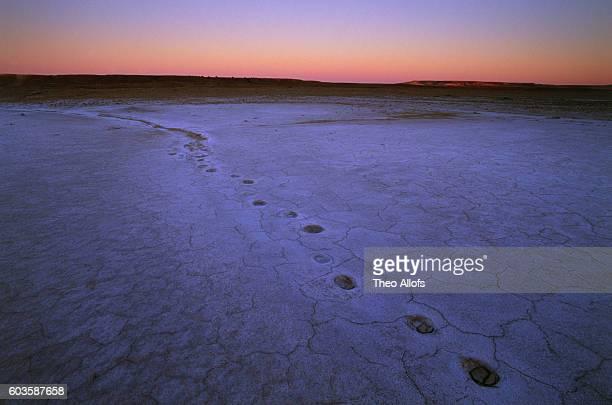 Dingo tracks in saltpan at sunrise, Witjira National Park, South Australia, Australia