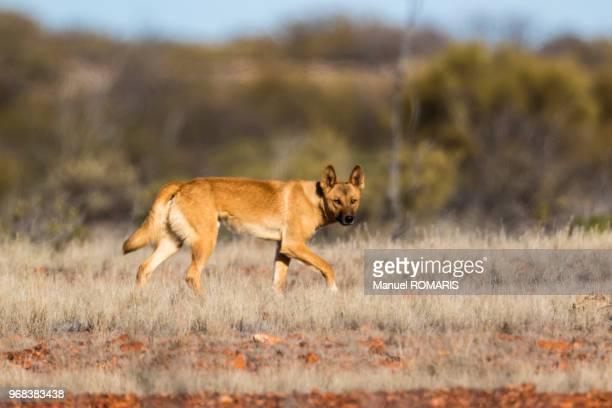 Dingo, Wintinna, Australia