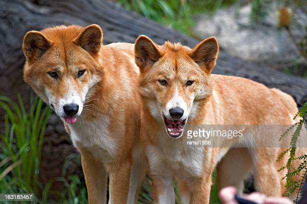 Dingo Stock Photos And Pictures Getty Images