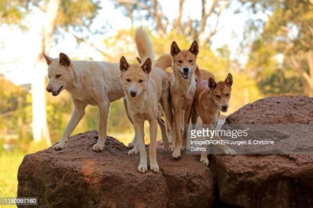 Dingos (Canis familiaris dingo), adult, pack on rocks, Phillip Island, Gippsland, Victoria