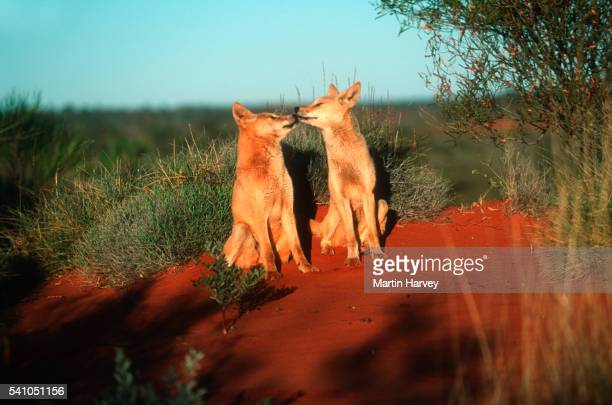 Dingos in Australian Outback