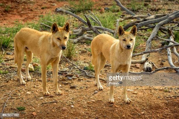 Dingos