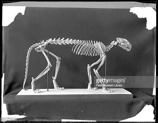 Dinictus felina or felis Saber or sabre tooth tiger skeleton Oligocene cat Family Felidae Subfamily Machairodontinae Field Columbian Museum 1907
