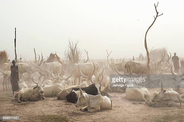 dinka cattle camp in south sudan. - sudan stock pictures, royalty-free photos & images