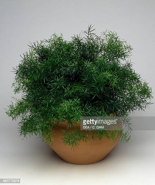 Dinkum or asparagus fern Asparagaceae