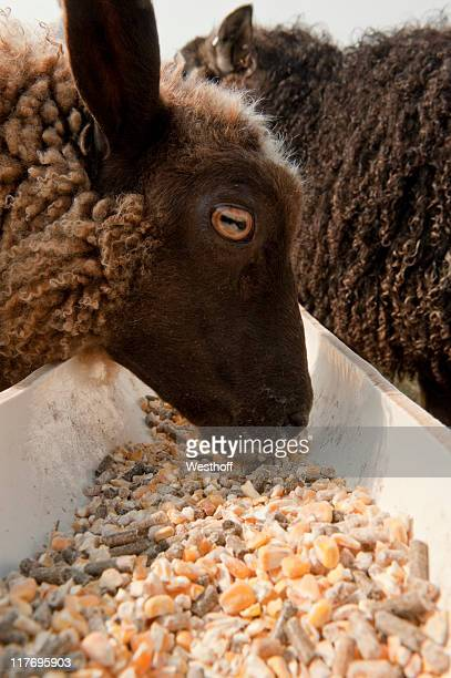 dinner time - icelandic sheep stock photos and pictures