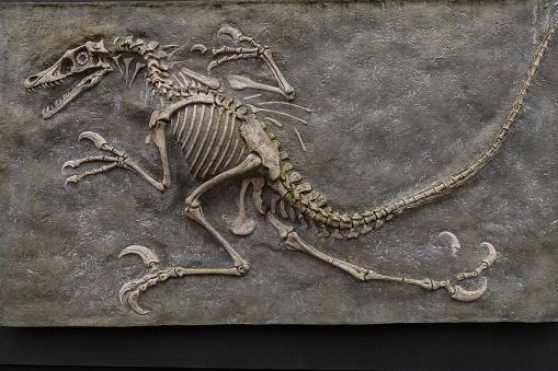 Dinosaur fossil from prehistoric evolution 1160072746